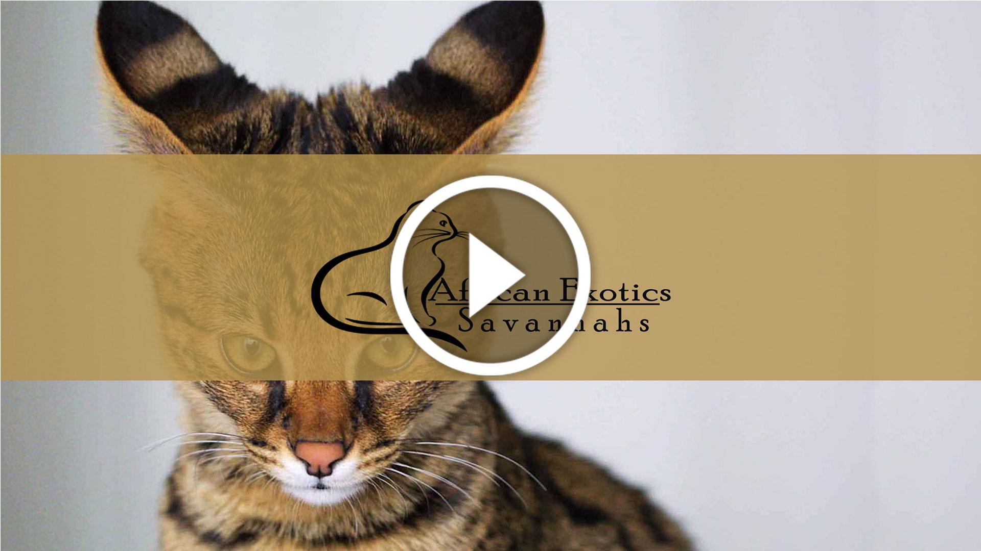 Savannah Cat Breeder in IL - African Exotics Savannahs